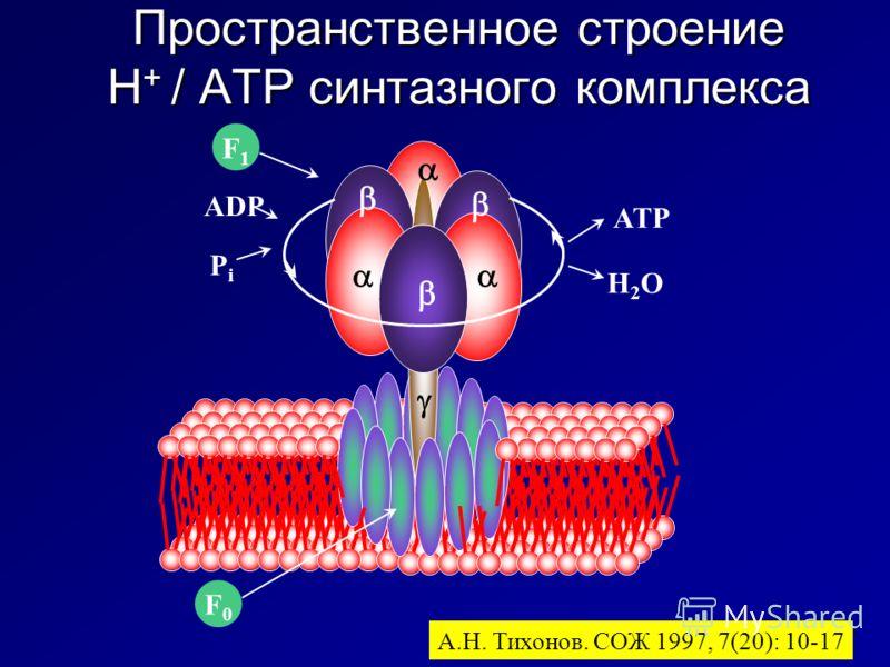 Пространственное строение H + / ATP синтазного комплекса А.Н. Тихонов. СОЖ 1997, 7(20): 10-17