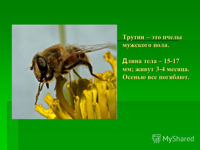 Трутни – это пчелы мужского пола. Д лина тела – 15-17 мм; живут 3-4 месяца. Осенью все погибают.