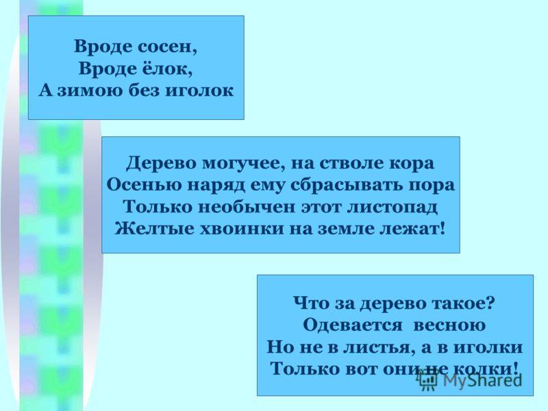 Вроде сосен, Вроде ёлок, А зимою без иголок Что за дерево такое? Одевается весною Но не в листья, а в иголки Только вот они не колки! Дерево могучее, на стволе кора Осенью наряд ему сбрасывать пора Только необычен этот листопад Желтые хвоинки на земл