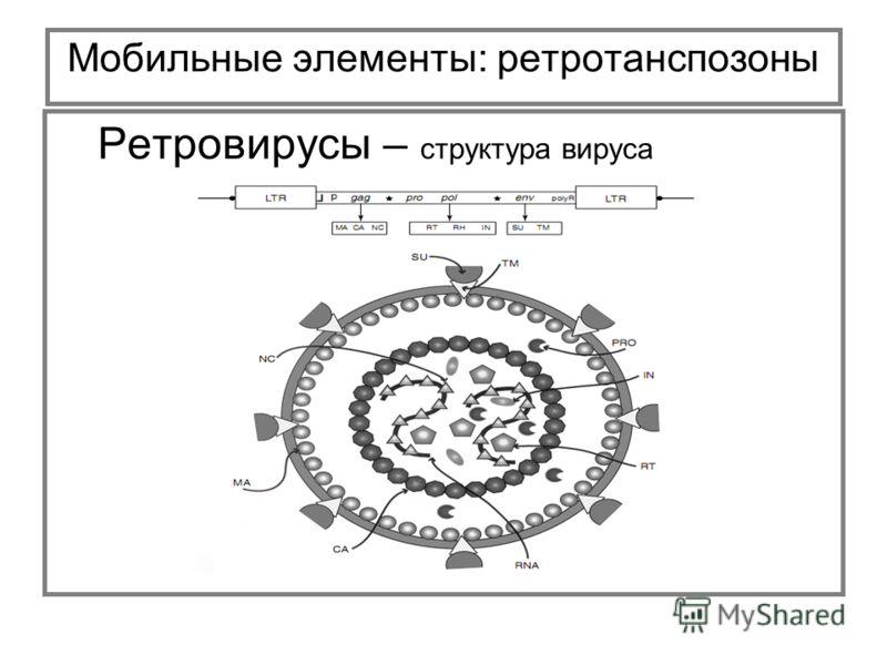Мобильные элементы: ретротанспозоны Ретровирусы – структура вируса