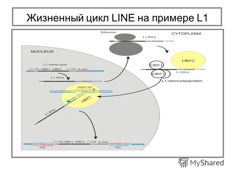 Жизненный цикл LINE на примере L1