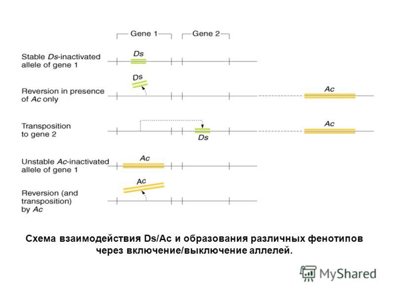 Схема взаимодействия Ds/Ac и образования различных фенотипов через включение/выключение аллелей.