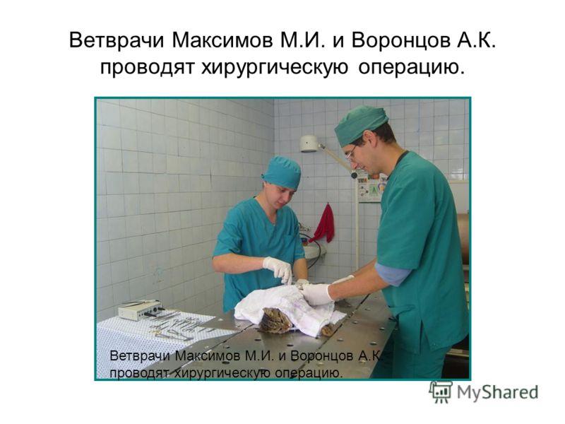 Ветврачи Максимов М.И. и Воронцов А.К. проводят хирургическую операцию.