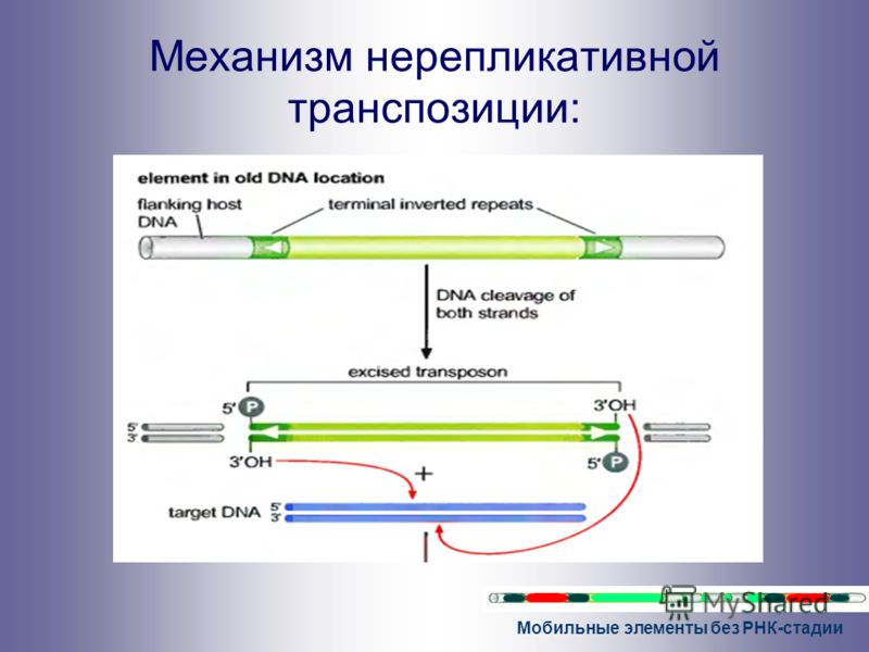 Мобильные элементы без РНК-стадии Механизм нерепликативной транспозиции: