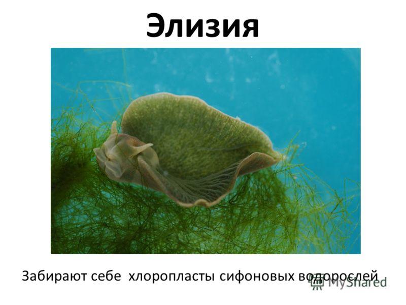 Элизия Забирают себе хлоропласты сифоновых водорослей