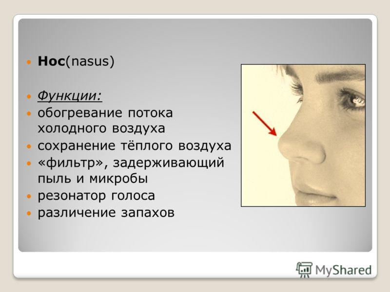 Нос(nasus) Функции: обогревание потока холодного воздуха сохранение тёплого воздуха «фильтр», задерживающий пыль и микробы резонатор голоса различение запахов