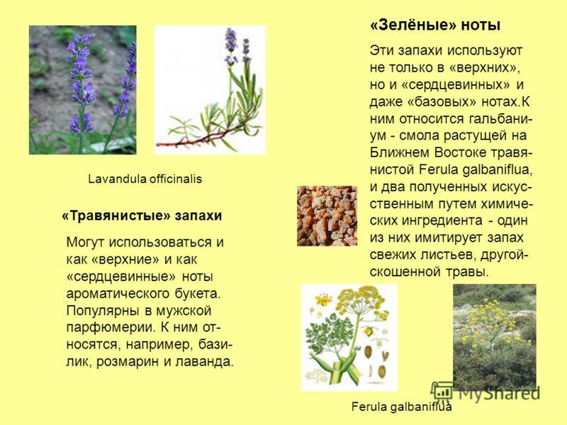 «Травянистые» запахи «Зелёные» ноты Могут использоваться и как «верхние» и как «сердцевинные» ноты ароматического букета. Популярны в мужской парфюмерии. К ним от- носятся, например, бази- лик, розмарин и лаванда. Эти запахи используют не только в «в