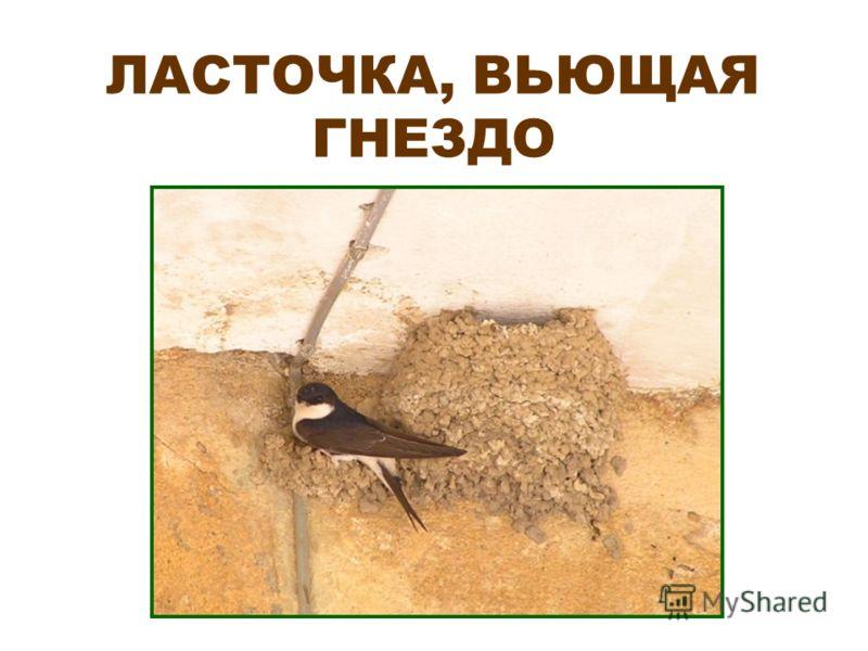 ЛАСТОЧКА, ВЬЮЩАЯ ГНЕЗДО