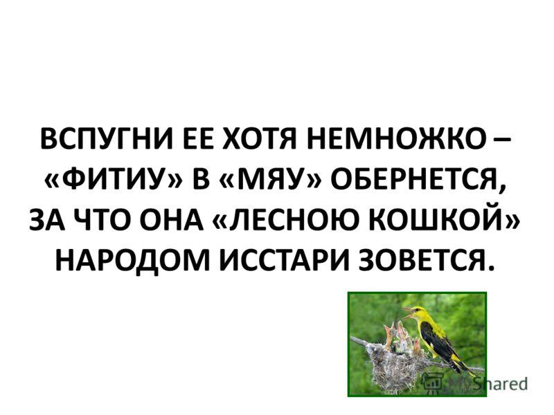 ВСПУГНИ ЕЕ ХОТЯ НЕМНОЖКО – «ФИТИУ» В «МЯУ» ОБЕРНЕТСЯ, ЗА ЧТО ОНА «ЛЕСНОЮ КОШКОЙ» НАРОДОМ ИССТАРИ ЗОВЕТСЯ.