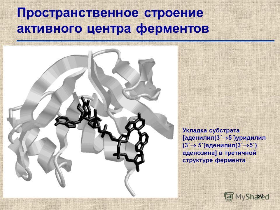 50 Пространственное строение активного центра ферментов Укладка субстрата [аденилил(3´ 5´)уридилил (3´ 5´)аденилил(3´ 5´) аденозина] в третичной структуре фермента