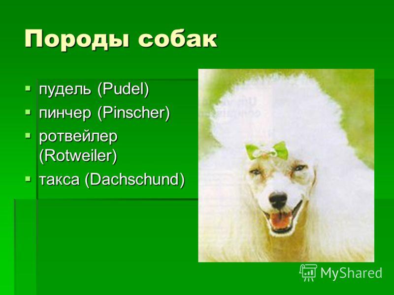 Породы собак пудель (Pudel) пудель (Pudel) пинчер (Pinscher) пинчер (Pinscher) ротвейлер (Rotweiler) ротвейлер (Rotweiler) такса (Dachschund) такса (Dachschund)