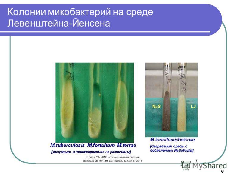 Колонии микобактерий на среде Левенштейна-Йенсена 6