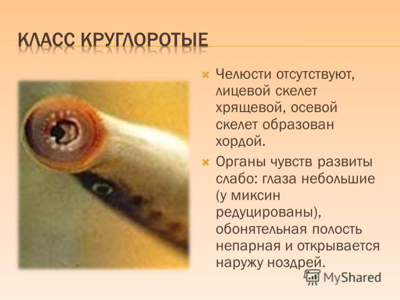 Челюсти отсутствуют, лицевой скелет хрящевой, осевой скелет образован хордой. Органы чувств развиты слабо: глаза небольшие (у миксин редуцированы), обонятельная полость непарная и открывается наружу ноздрей.