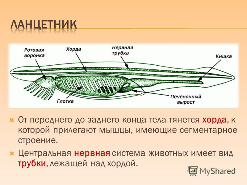 От переднего до заднего конца тела тянется хорда, к которой прилегают мышцы, имеющие сегментарное строение. Центральная нервная система животных имеет вид трубки, лежащей над хордой.