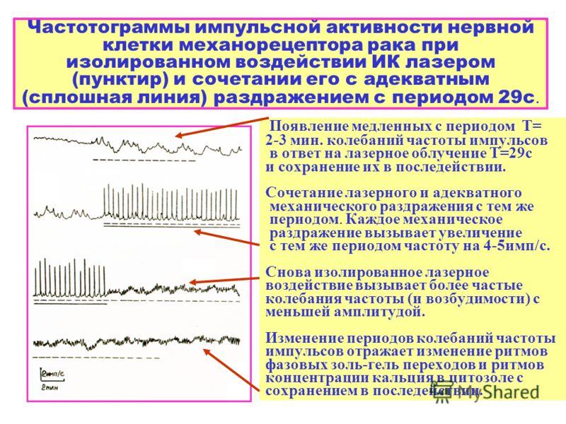 Частотограммы импульсной активности нервной клетки механорецептора рака при изолированном воздействии ИК лазером (пунктир) и сочетании его с адекватным (сплошная линия) раздражением с периодом 29с. Появление медленных с периодом Т= 2-3 мин. колебаний