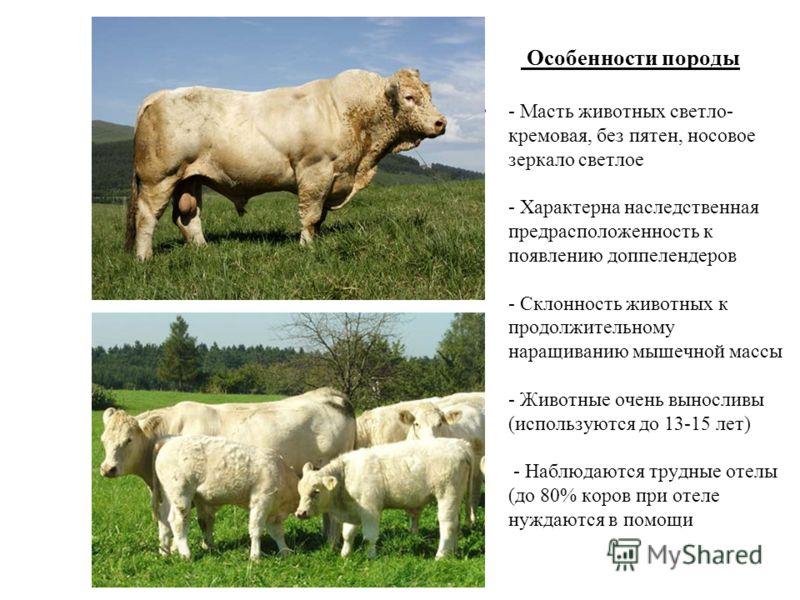 Особенности породы - Масть животных светло- кремовая, без пятен, носовое зеркало светлое - Характерна наследственная предрасположенность к появлению доппелендеров - Склонность животных к продолжительному наращиванию мышечной массы - Животные очень вы