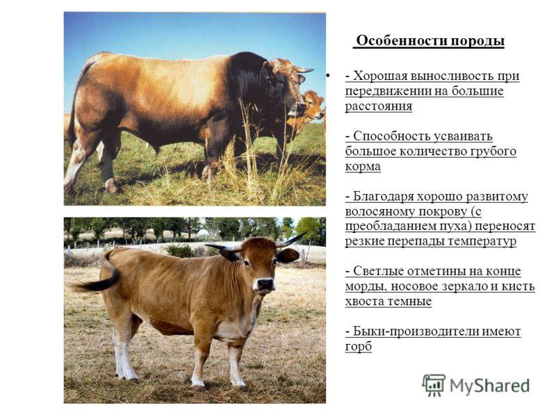 Особенности породы - Хорошая выносливость при передвижении на большие расстояния - Способность усваивать большое количество грубого корма - Благодаря хорошо развитому волосяному покрову (с преобладанием пуха) переносят резкие перепады температур - Св