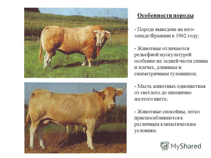 Особенности породы - Порода выведена на юго- западе Франции в 1962 году; - Животные отличаются рельефной мускулатурой особенно на задней части спины и плечах, длинным и симметричным туловищем; - Масть животных одноцветная от светлого до пшенично желт