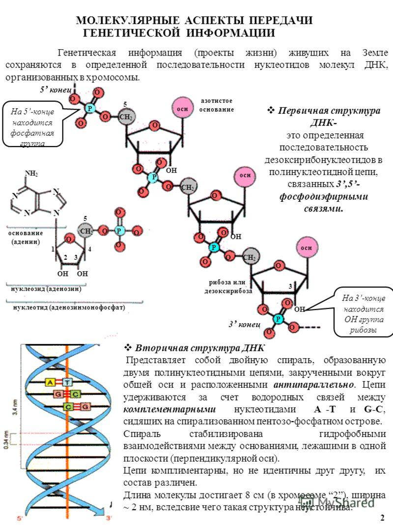 МОЛЕКУЛЯРНЫЕ АСПЕКТЫ ПЕРЕДАЧИ ГЕНЕТИЧЕСКОЙ ИНФОРМАЦИИ 2 основание (аденин) нуклеотид (аденозинмонофосфат) 5 конец 3 конец азотистое основание осн рибоза или дезоксирибоза нуклеозид (аденозин) 1 2 3 4 5 N N N N OH O O O O O O O O O O O O O O O O O CH
