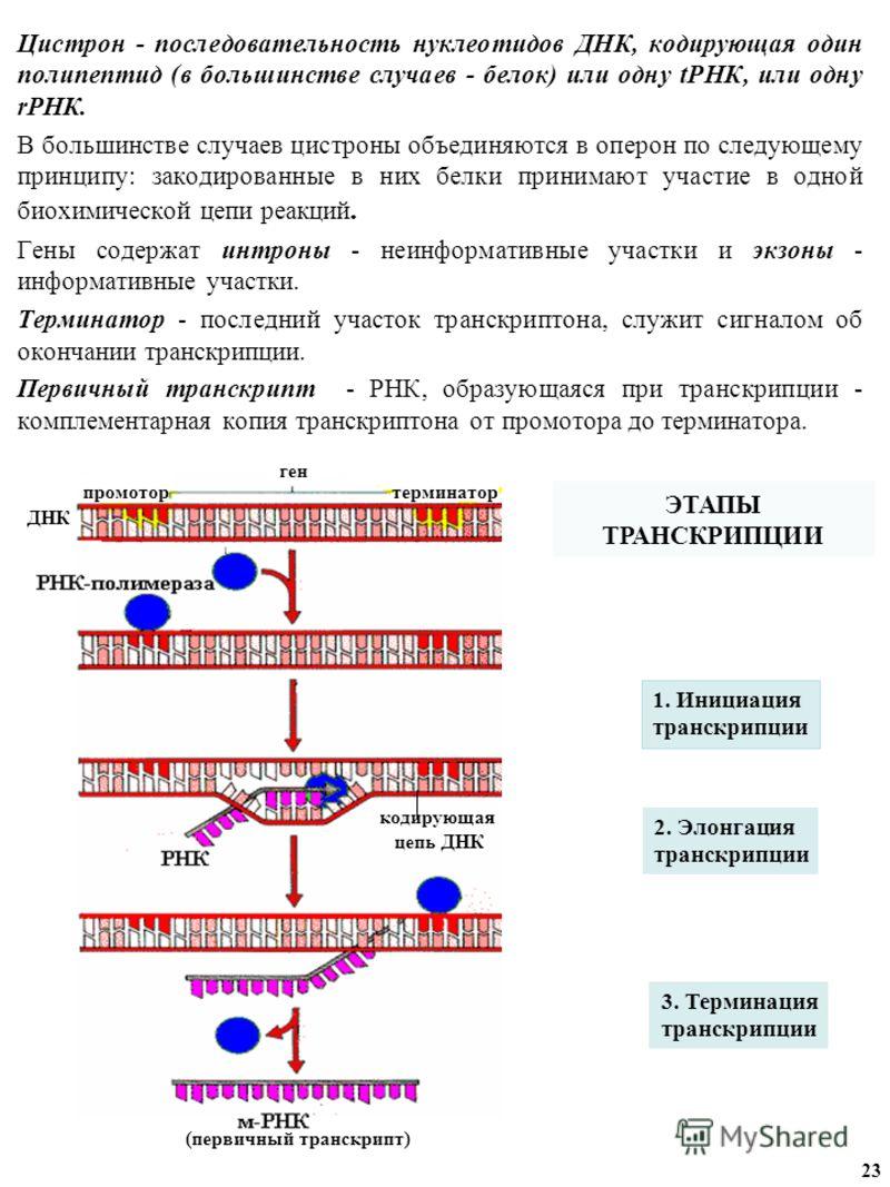 Цистрон - последовательность нуклеотидов ДНК, кодирующая один полипептид (в большинстве случаев - белок) или одну tРНК, или одну rРНК. В большинстве случаев цистроны объединяются в оперон по следующему принципу: закодированные в них белки принимают у