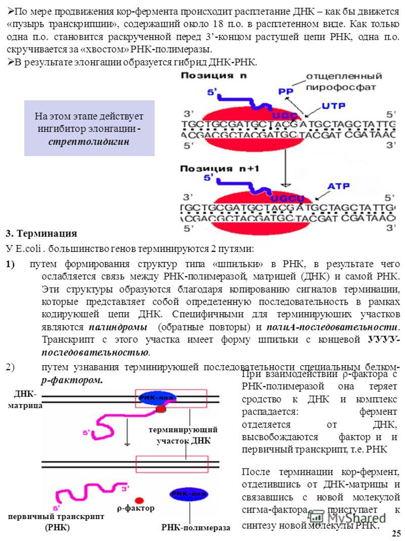 На этом этапе действует ингибитор элонгации - стрептолидигин 3. Терминация У E.coli. большинство генов терминируются 2 путями: 1) путем формирования структур типа «шпильки» в РНК, в результате чего ослабляется связь между РНК-полимеразой, матрицей (Д
