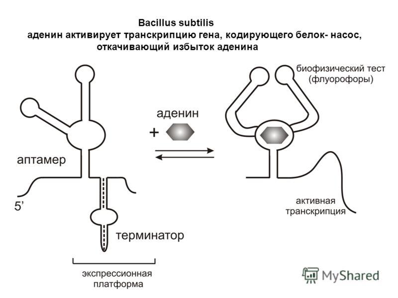 Bacillus subtilis аденин активирует транскрипцию гена, кодирующего белок- насос, откачивающий избыток аденина