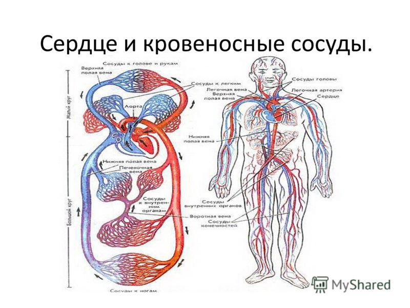 Сердце и кровеносные сосуды.