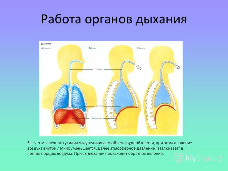 За счет мышечного усилия мы увеличиваем объем грудной клетки, при этом давление воздуха внутри легких уменьшается. Далее атмосферное давление вталкивает в легкие порцию воздуха. При выдыхании происходит обратное явление. Работа органов дыхания