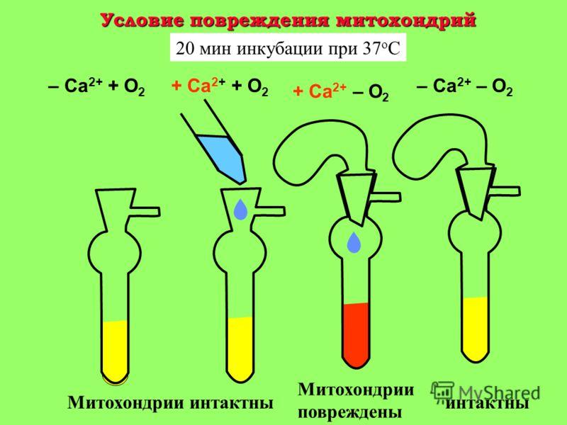 Кислородный конус в участке ткани Область аноксии Область нормоксии Поток крови Поток кислорода