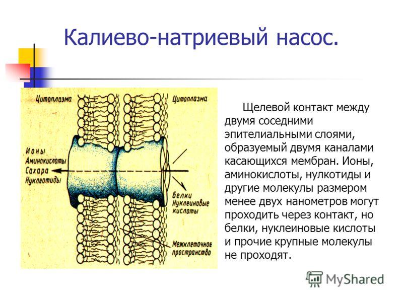 Калиево-натриевый насос. Щелевой контакт между двумя соседними эпителиальными слоями, образуемый двумя каналами касающихся мембран. Ионы, аминокислоты, нулкотиды и другие молекулы размером менее двух нанометров могут проходить через контакт, но белки