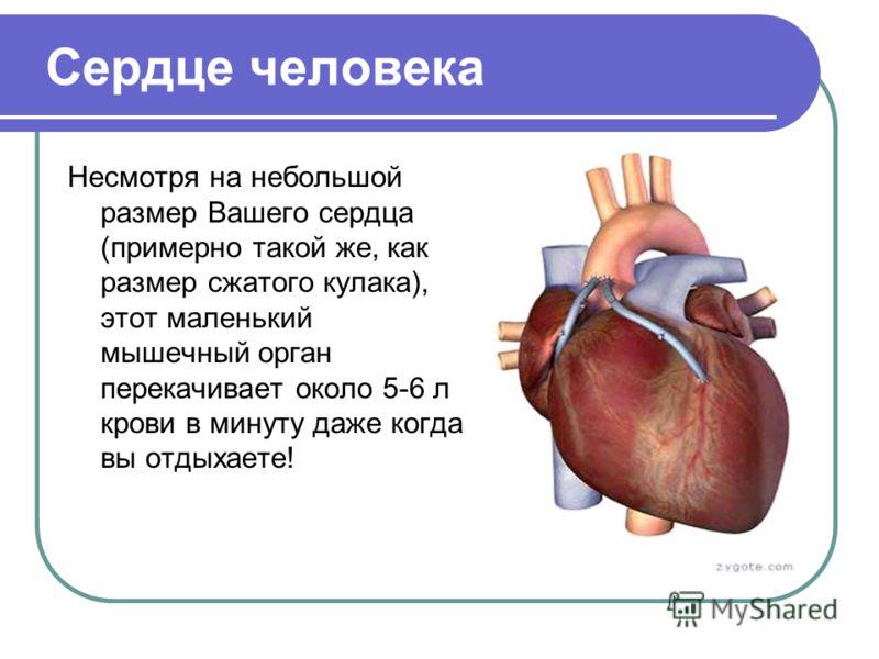 Сердце человека Несмотря на небольшой размер Вашего сердца (примерно такой же, как размер сжатого кулака), этот маленький мышечный орган перекачивает около 5-6 л крови в минуту даже когда вы отдыхаете!