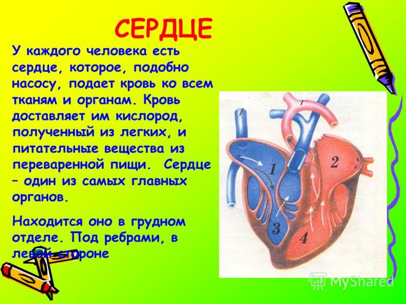 СЕРДЦЕ У каждого человека есть сердце, которое, подобно насосу, подает кровь ко всем тканям и органам. Кровь доставляет им кислород, полученный из легких, и питательные вещества из переваренной пищи. Сердце – один из самых главных органов. Находится