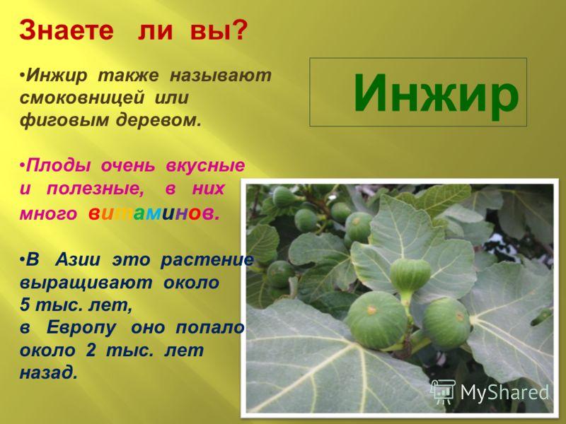 Инжир Знаете ли вы? Инжир также называют смоковницей или фиговым деревом. Плоды очень вкусные и полезные, в них много витаминов. В Азии это растение выращивают около 5 тыс. лет, в Европу оно попало около 2 тыс. лет назад.