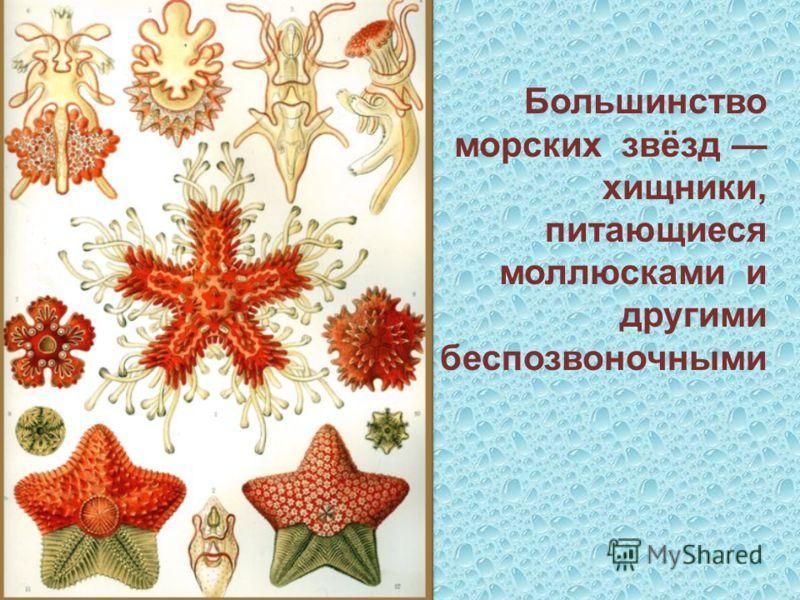 Большинство морских звёзд хищники, питающиеся моллюсками и другими беспозвоночными