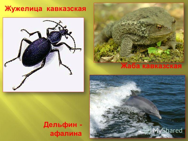 Дельфин - афалина Жужелица кавказская Жаба кавказская
