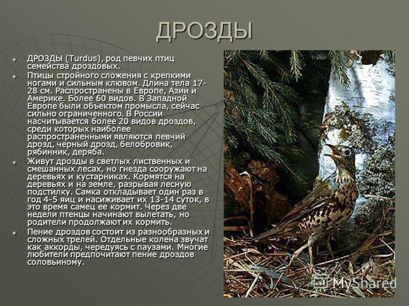 ДРОЗДЫ ДРОЗДЫ (Turdus), род певчих птиц семейства дроздовых. ДРОЗДЫ (Turdus), род певчих птиц семейства дроздовых. Птицы стройного сложения с крепкими ногами и сильным клювом. Длина тела 17- 28 см. Распространены в Европе, Азии и Америке. Более 60 ви