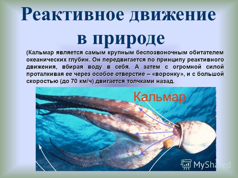 Реактивное движение в природе (Кальмар является самым крупным беспозвоночным обитателем океанических глубин. Он передвигается по принципу реактивного движения, вбирая воду в себя. А затем с огромной силой проталкивая ее через особое отверстие – «воро