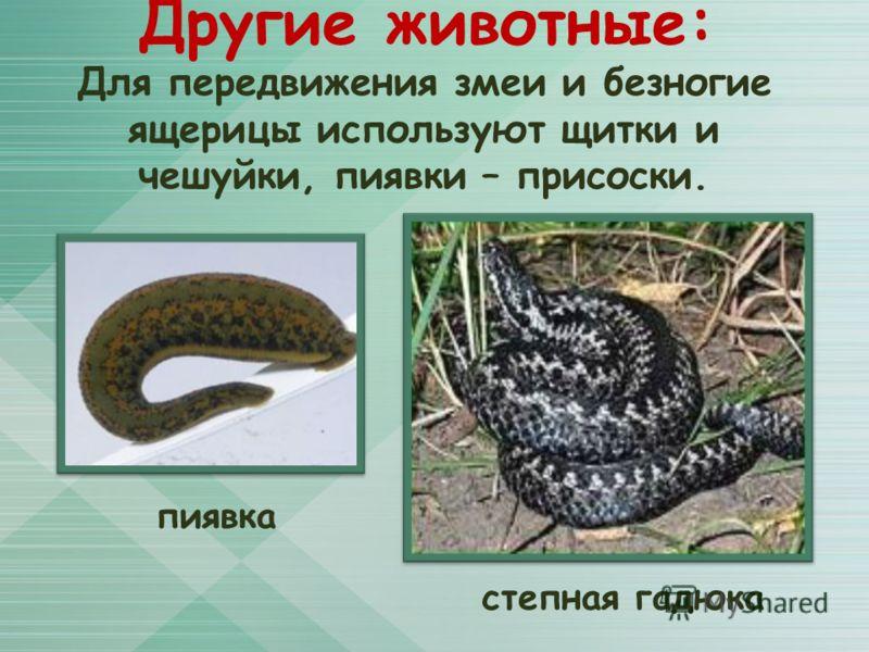 Для передвижения змеи и безногие ящерицы используют щитки и чешуйки, пиявки – присоски. Другие животные: пиявка степная гадюка