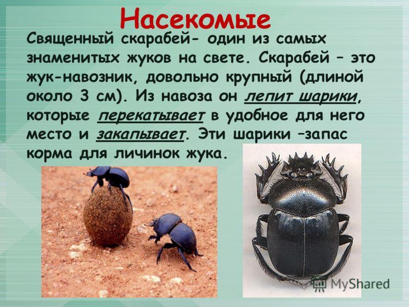 Священный скарабей- один из самых знаменитых жуков на свете. Скарабей – это жук-навозник, довольно крупный (длиной около 3 см). Из навоза он лепит шарики, которые перекатывает в удобное для него место и закапывает. Эти шарики –запас корма для личинок