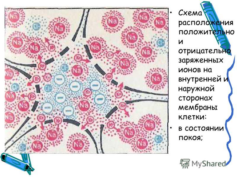 Схема расположения положительно и отрицательно заряженных ионов на внутренней и наружной сторонах мембраны клетки: в состоянии покоя;