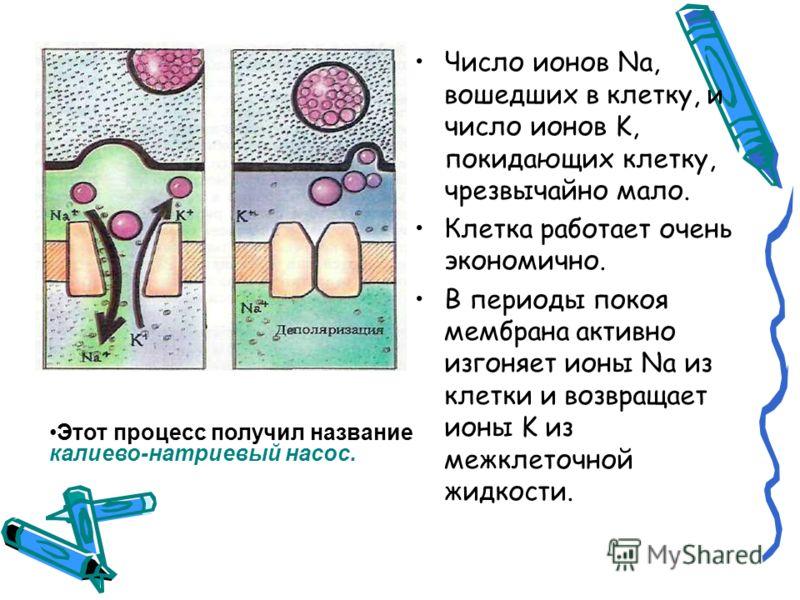 Число ионов Na, вошедших в клетку, и число ионов K, покидающих клетку, чрезвычайно мало. Клетка работает очень экономично. В периоды покоя мембрана активно изгоняет ионы Na из клетки и возвращает ионы K из межклеточной жидкости. Этот процесс получил