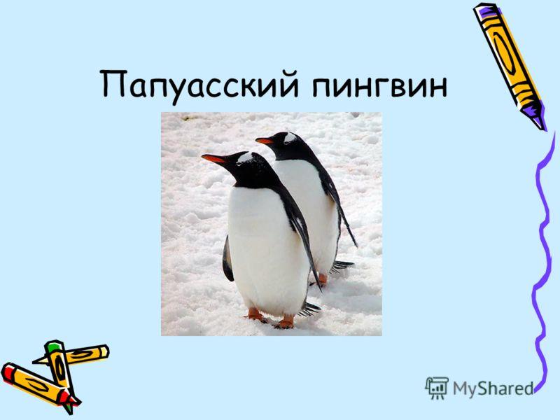 Папуасский пингвин