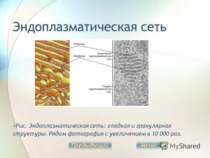 Эндоплазматическая сеть Рис. Эндоплазматическая сеть: гладкая и гранулярная структуры. Рядом фотография с увеличением в 10 000 раз.