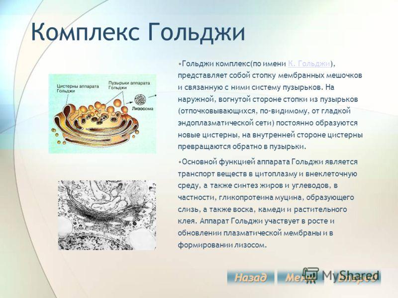 Комплекс Гольджи Гольджи комплекс(по имени К. Гольджи), представляет собой стопку мембранных мешочков и связанную с ними систему пузырьков. На наружной, вогнутой стороне стопки из пузырьков (отпочковывающихся, по-видимому, от гладкой эндоплазматическ