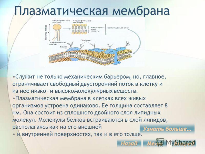 Плазматическая мембрана Служит не только механическим барьером, но, главное, ограничивает свободный двусторонний поток в клетку и из нее низко- и высокомолекулярных веществ. Плазматическая мембрана в клетках всех живых организмов устроена одинаково.