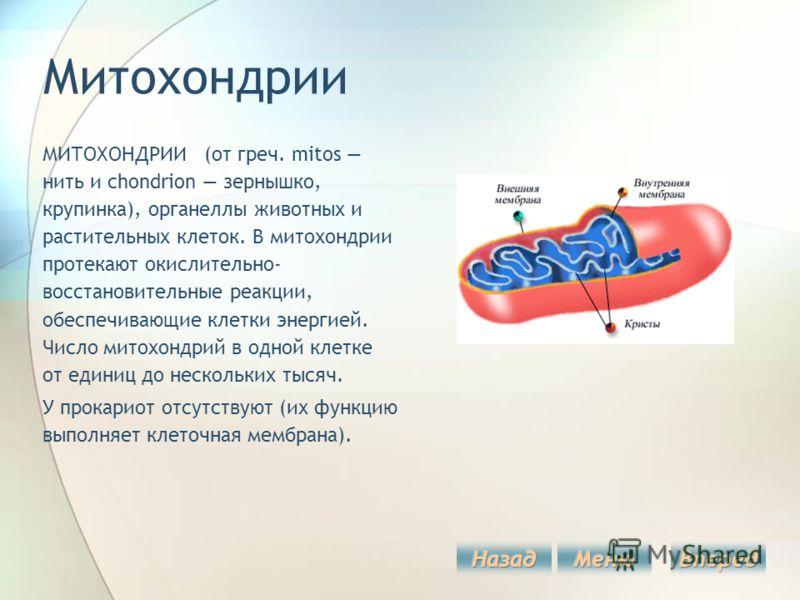 Митохондрии МИТОХОНДРИИ (от греч. mitos нить и chondrion зернышко, крупинка), органеллы животных и растительных клеток. В митохондрии протекают окислительно- восстановительные реакции, обеспечивающие клетки энергией. Число митохондрий в одной клетке