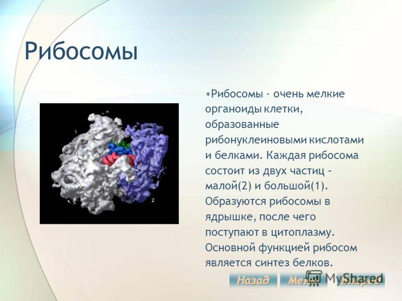 Рибосомы Рибосомы - очень мелкие органоиды клетки, образованные рибонуклеиновыми кислотами и белками. Каждая рибосома состоит из двух частиц – малой(2) и большой(1). Образуются рибосомы в ядрышке, после чего поступают в цитоплазму. Основной функцией