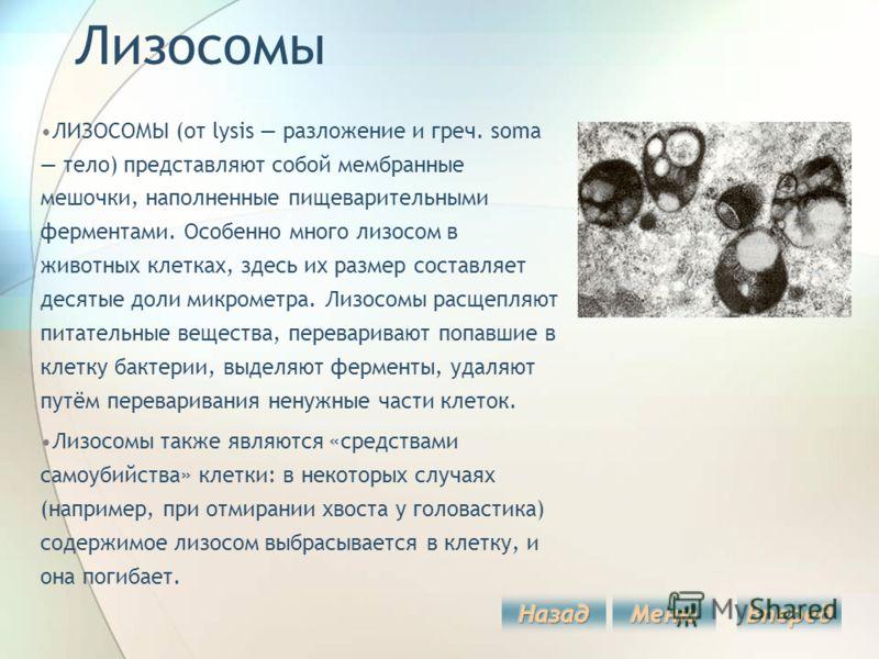 Лизосомы ЛИЗОСОМЫ (от lysis разложение и греч. soma тело) представляют собой мембранные мешочки, наполненные пищеварительными ферментами. Особенно много лизосом в животных клетках, здесь их размер составляет десятые доли микрометра. Лизосомы расщепля