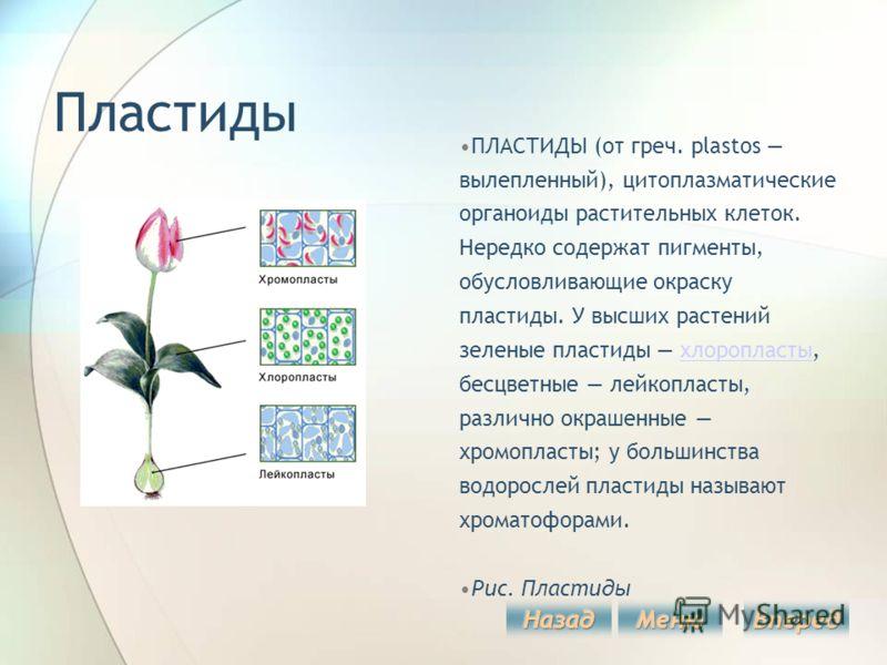 Пластиды ПЛАСТИДЫ (от греч. plastos вылепленный), цитоплазматические органоиды растительных клеток. Нередко содержат пигменты, обусловливающие окраску пластиды. У высших растений зеленые пластиды хлоропласты, бесцветные лейкопласты, различно окрашенн