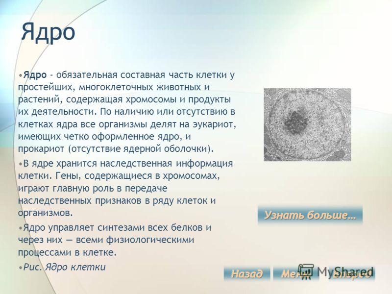 Ядро Ядро - обязательная составная часть клетки у простейших, многоклеточных животных и растений, содержащая хромосомы и продукты их деятельности. По наличию или отсутствию в клетках ядра все организмы делят на эукариот, имеющих четко оформленное ядр
